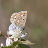 Icarusblauwtje, vrouwtje, Dwingelderveld
