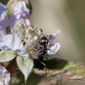 Grote zwarte mier