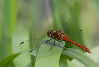 Bloedrode heidelibel, mannetje
